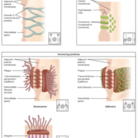 Types of Cell Junctions.jpg
