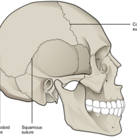 Suture Joints of Skull.jpg