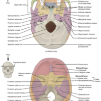 External and Internal Views of Base of Skull.jpg