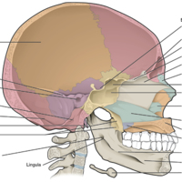 Sagittal Section of Skull.jpg