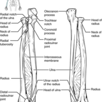 Ulna and Radius.jpg