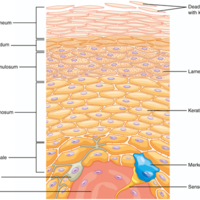 Layers of the Epidermis.jpg