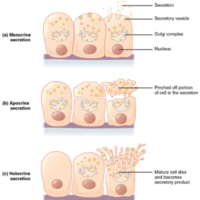 Modes of Glandular Secretion.jpg
