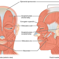 Muscles of Facial Expression.jpg