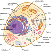 Prototypical Human Cell.jpg