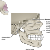 Lateral Wall of Nasal Cavity.jpg