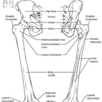 Femur and Patella.jpg
