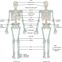Axial and Appendicular Skeleton.jpg