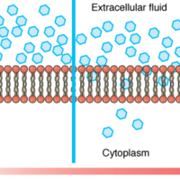 Simple Diffusion across the Cell (Plasma) Membrane.jpg