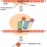 Translation from RNA to Protein.jpg